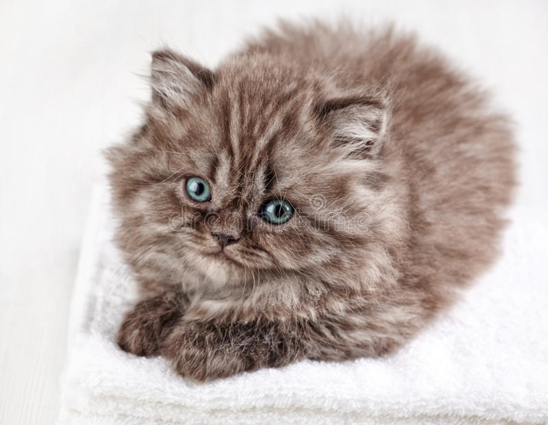 英国长的头发小猫 库存图片