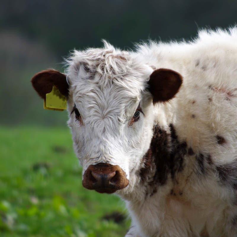 Download 英国长角牛小牛 库存照片. 图片 包括有 鼻子, 小牛, 种田, 农场, 茴香, 国内, 题头, 正方形 - 72368350