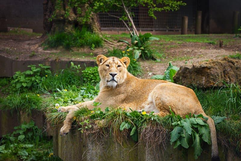英国,英国,伦敦- 2013年5月5日:在动物园的可爱的雌狮 免版税库存图片