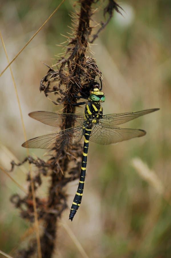 英国黄色黑金黄圈状的蜻蜓 免版税库存照片