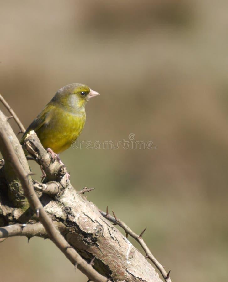 英国greenfinch 库存图片