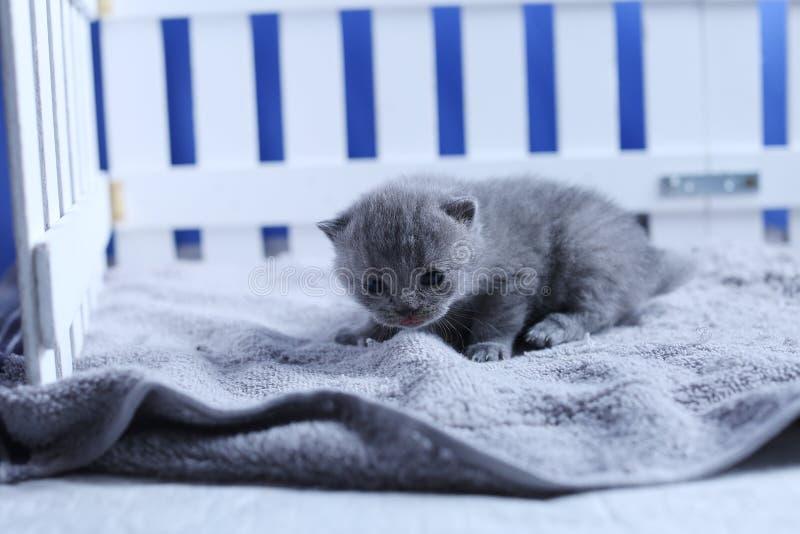 英国Shorthair小猫在一个小围场,白色篱芭 免版税库存照片