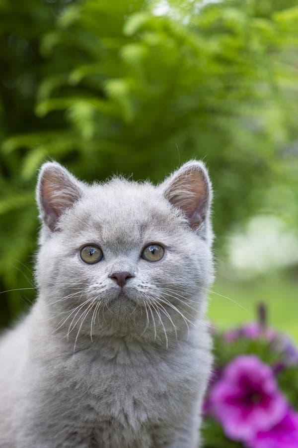 英国Shorthair小猫的画象在桃红色喇叭花背景的  题字的地方在上面 免版税库存图片