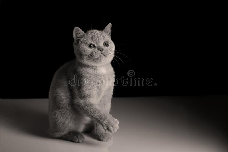 英国Shorthair淡紫色小猫,被隔绝的画象 免版税库存照片