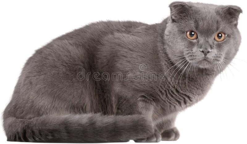 英国Shorthair猫画象在白色的 图库摄影