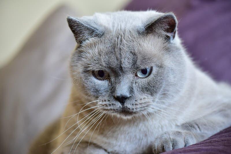 英国Shorthair猫画象 库存照片