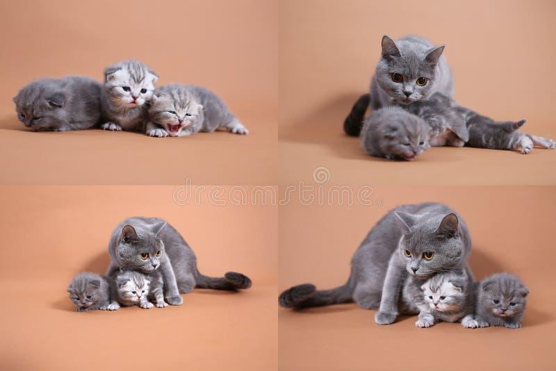 英国Shorthair蓝色小猫使用与妈妈的,四个屏幕 免版税库存照片