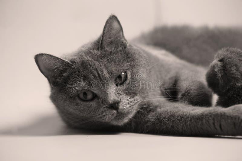 英国Shorthair被隔绝的猫画象 免版税图库摄影