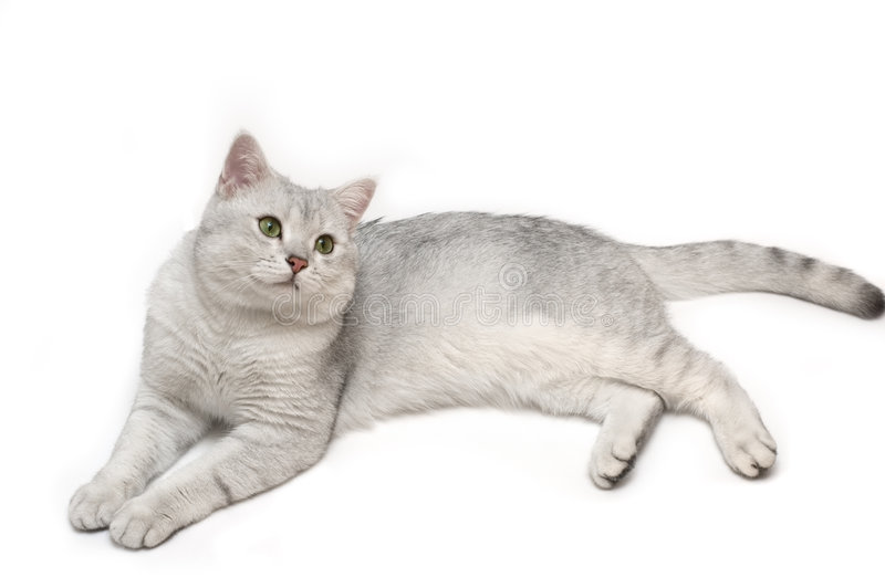 英国shorthair Tomcat 免版税库存图片