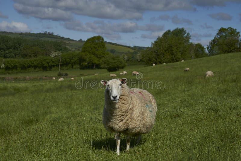 英格兰科茨沃尔德的农业 免版税库存图片