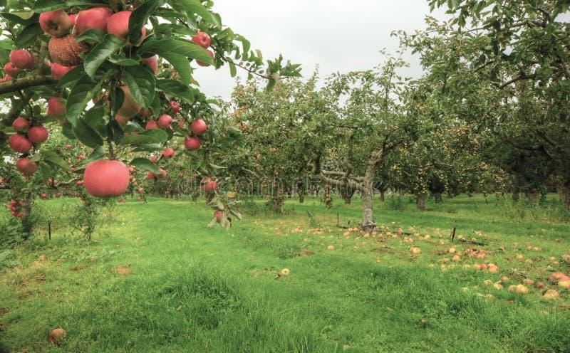 苹果乡下英语果树园 库存图片