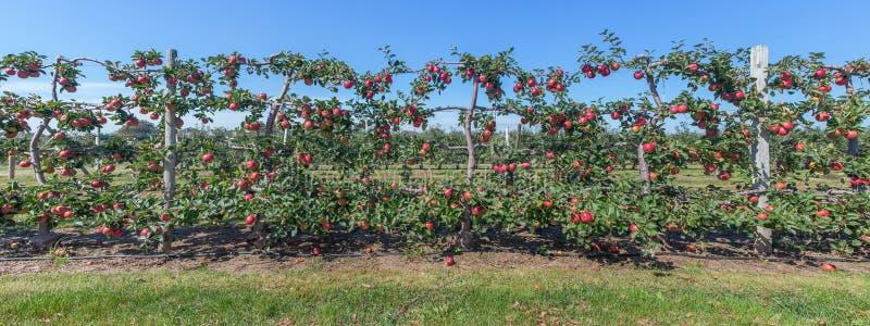 苹果全景在藤,长岛, NY的 免版税库存图片