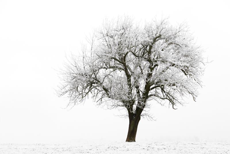 苹果冻结的结构树 免版税库存照片