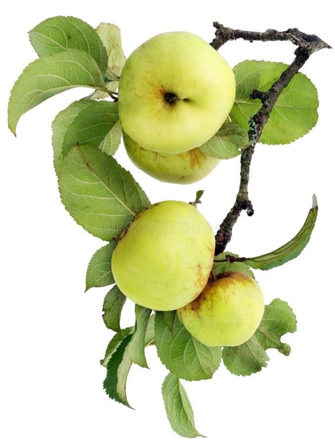苹果分行绿色留给实际 免版税图库摄影