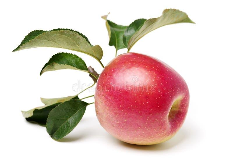 苹果叶子上升了 免版税图库摄影
