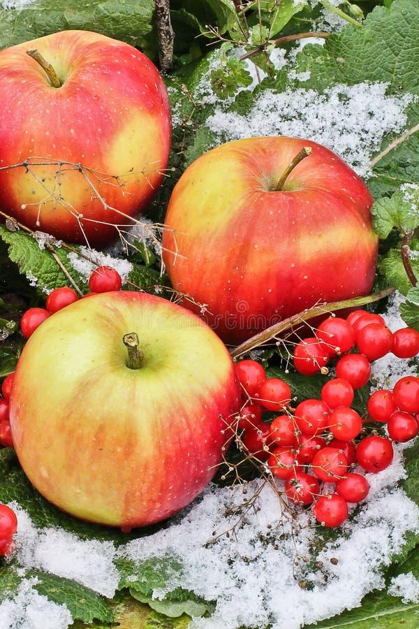 苹果和荚莲属的植物在雪 红色苹果和荚莲属的植物在雪和草关闭 第一雪 秋天和雪 冬天 库存图片