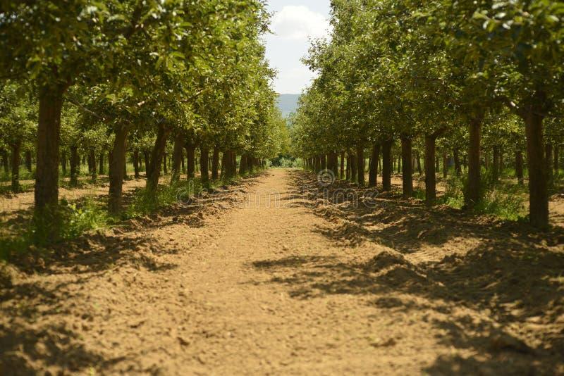 苹果园在夏天 图库摄影