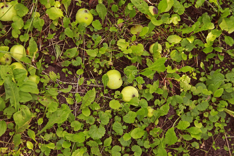 苹果在一棵树下在果树园 库存图片