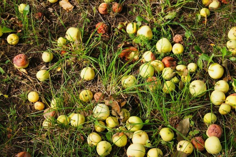 苹果在地面上说谎在庭院里 图库摄影