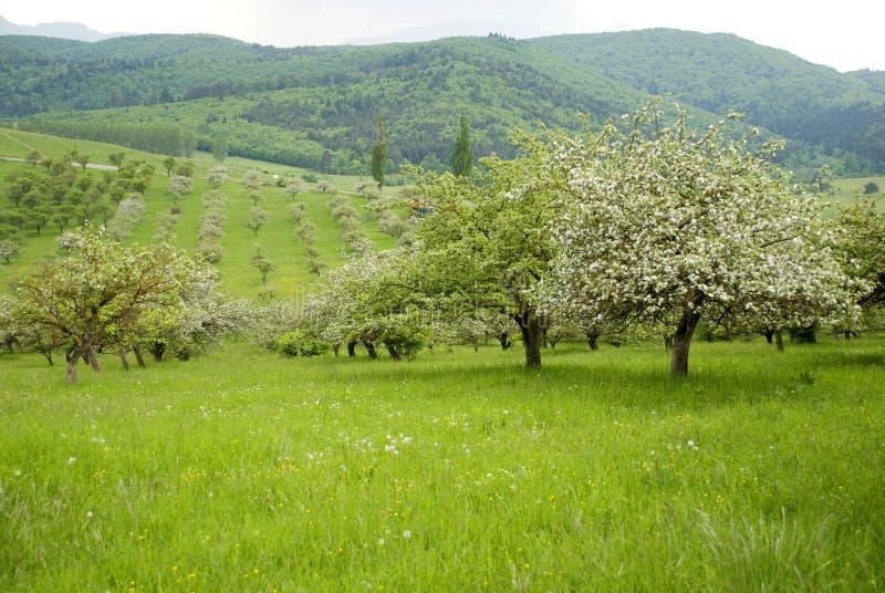 苹果开了花果树园结构树 免版税库存图片