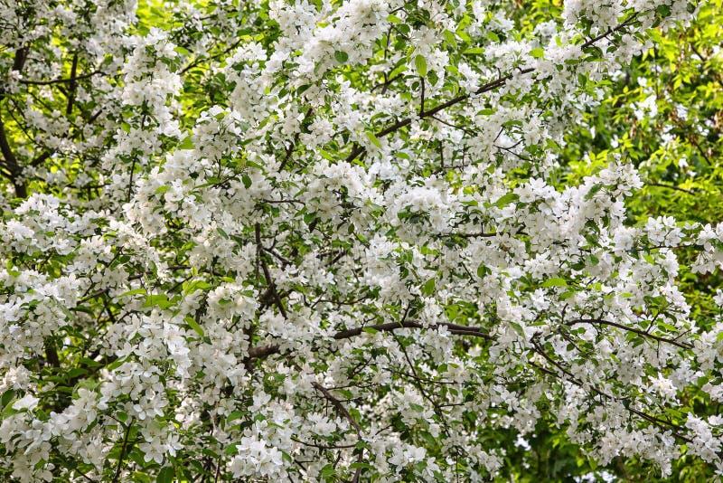 苹果开花关闭开花结构树 库存照片