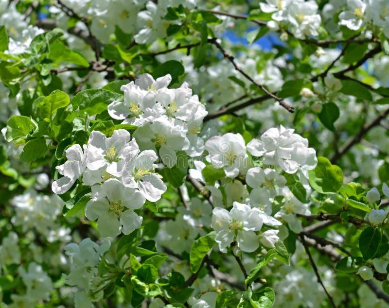 苹果开花庭院照片春天 雪白花 库存图片