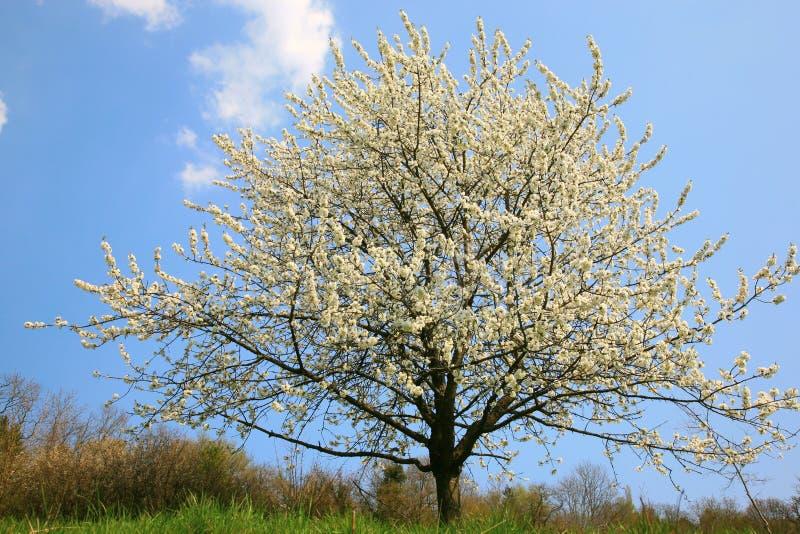 蘋果開花春天結構樹圖片
