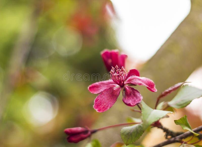 苹果开花的结构树 开花的与红色花的分支装饰狂放的皇族苹果树 库存照片