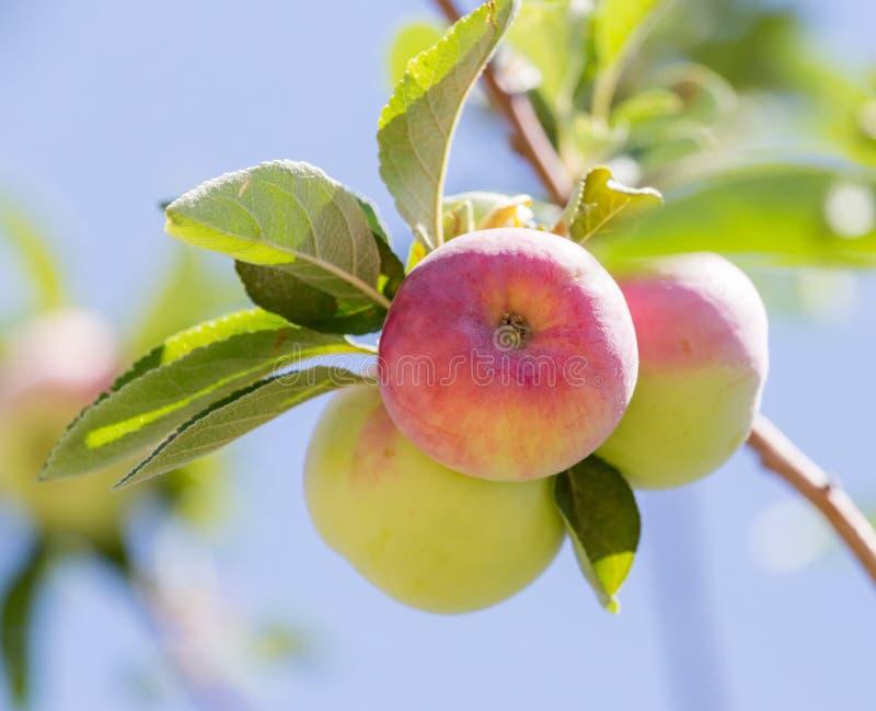 苹果成熟结构树 库存照片
