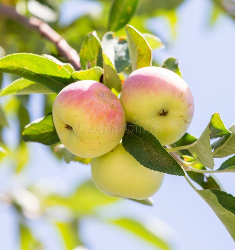 苹果成熟结构树 免版税图库摄影