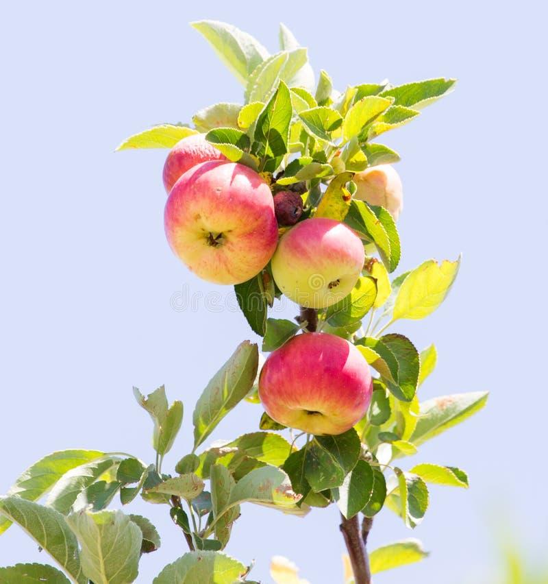 苹果成熟结构树 免版税库存照片