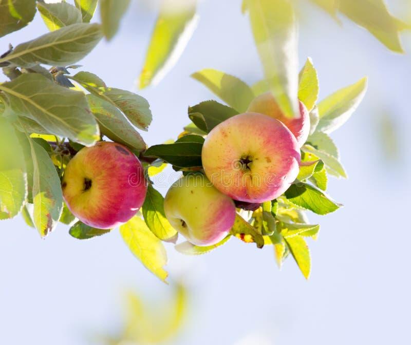 苹果成熟结构树 免版税库存图片