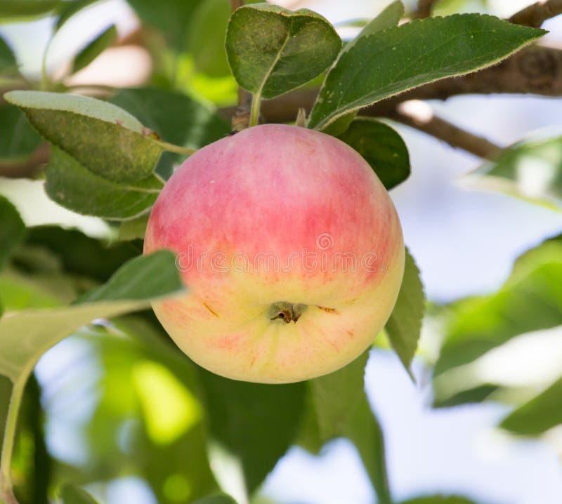 苹果成熟结构树 库存图片