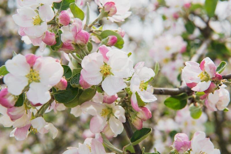 苹果收获结构树的夜间庭院 春天开花的结构树 在分支的美丽的苹果花 库存图片