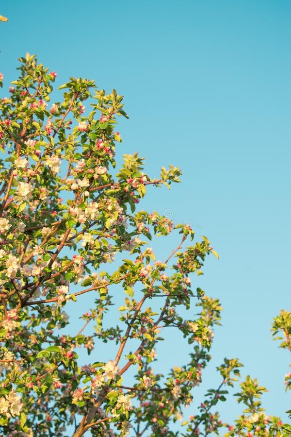 苹果春天花  库存照片