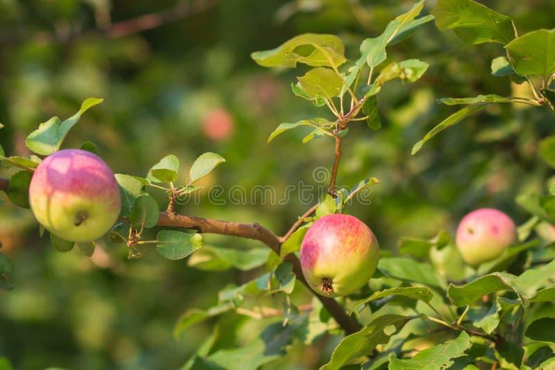 苹果有机结构树 免版税库存照片
