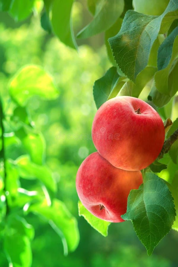 苹果果子红色 库存照片