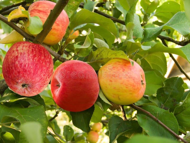 苹果果子 免版税库存图片