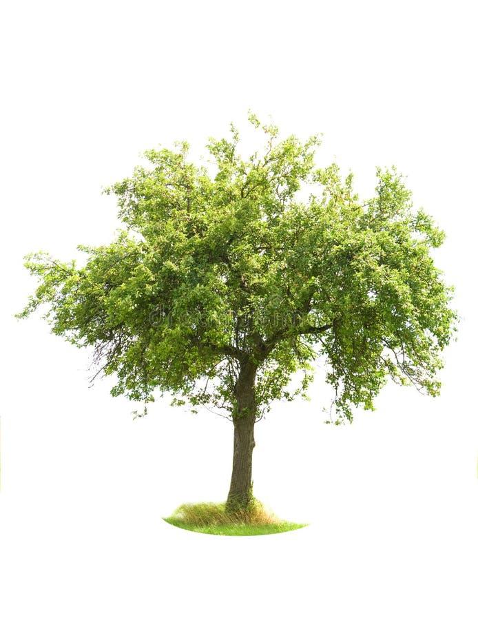 苹果查出的结构树 免版税库存图片