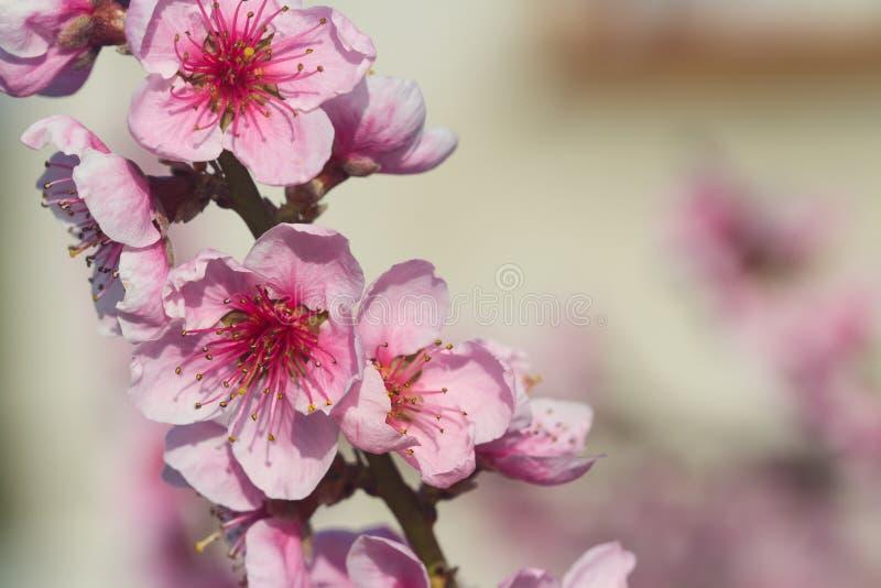 苹果树一个开花的分支在春天有软的背景 春天花庄严秀丽  库存图片