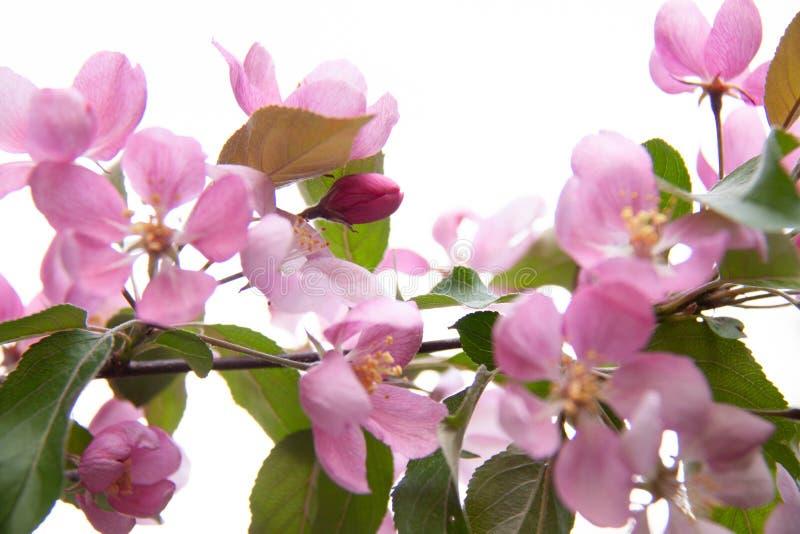 苹果树与桃红色花的开花分支 图库摄影