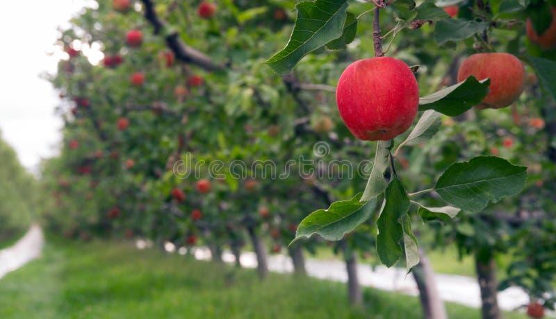 苹果树产生新鲜水果华盛顿州 图库摄影