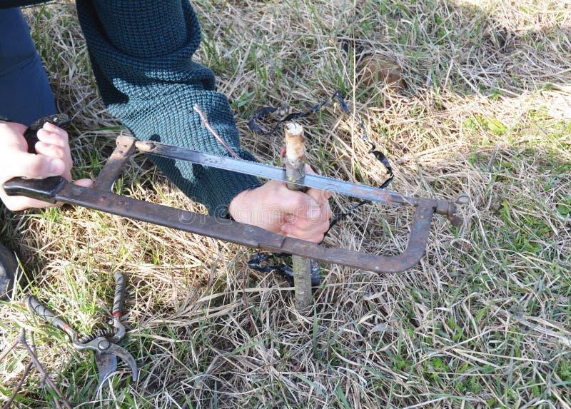 苹果树分支为嫁接与刀子做准备 逐步嫁接果树 库存照片