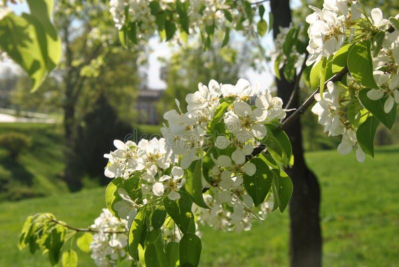 苹果树分支在城市公园开花 免版税库存照片
