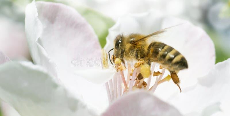 苹果树鸽子在绽放的在春天分支飞行.叶子,镜头特写.红霉素对蜜蜂有什么影响吗图片
