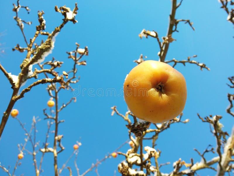 苹果树在冬天 免版税库存照片