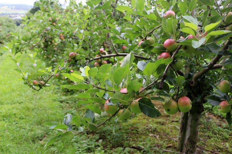 苹果树在果树园 库存照片