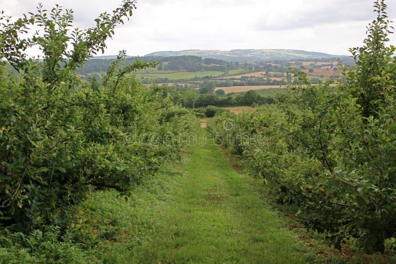 苹果树在英国 免版税库存图片