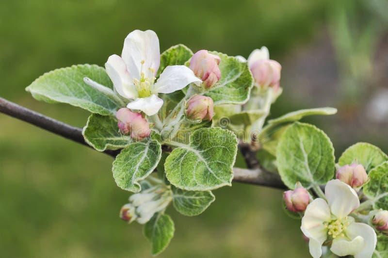 苹果树开花和芽 免版税库存照片