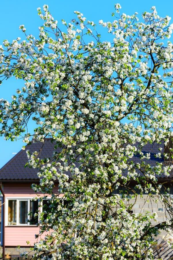Download 苹果树开花 库存照片. 图片 包括有 开花, 照亮, 自然, 环境, beautifuler, 叶子, 本质 - 72358832